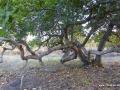 Cashew-nut Baum